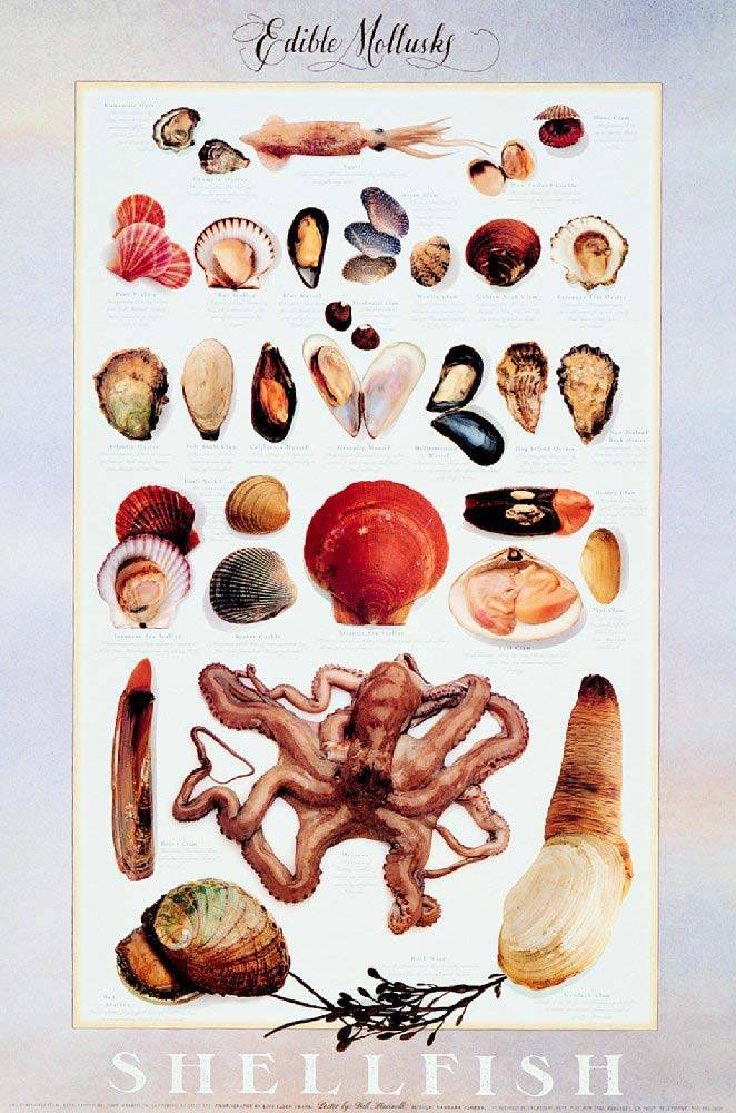 EDIBLE MOLLUSKS Poster