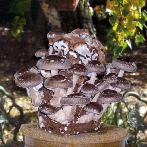 Shiitake Mushrooms Log with Shiitake Mushrooms