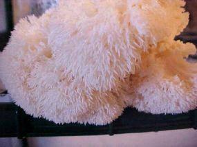 Lion's Main Mushroom